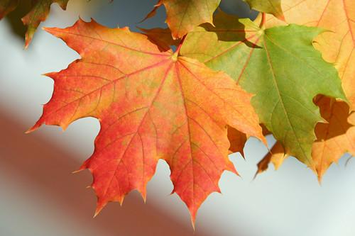 硬枫木和软枫木的区别在哪里